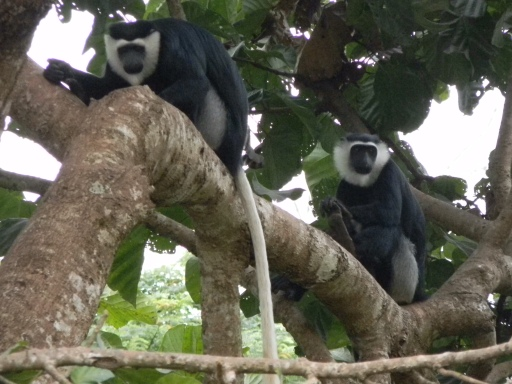 Elusive Colobus Monkeys